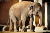 Elefant / Elephant (R.O. - Fotografie) Tags: elefant elephant animal tier erlebniszoo zoo hannover sonne sun outdoor closeup close up pansonic lumix dmcfz1000 dmc fz1000 fz 1000