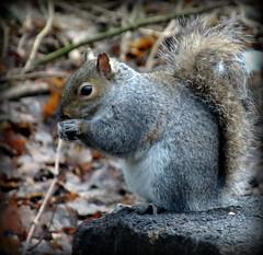 234/365 Grey Squirrel (lindyloo86) Tags: squirrel taylorpark wildlife
