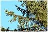 17/365 (Ulla51) Tags: ulla51 natur nature pflanzen plants blumen tree tanne