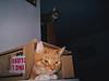 100_1245 (MykeOwns) Tags: tabbycat tabby cat cats boxes catinabox catsinboxes