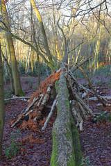 Addington Woods (Adam Swaine) Tags: woodland woodlandfloor woods trees leaves surrey england canon naturelovers nature logs trunks britain british seasons winter sunlight rural lichen