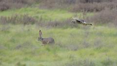 Harrier or Hare? (opheliosnaps) Tags: rabbit jackrabbit herrier hunting action wild nature pursuing prey hawk green sprint grass field