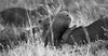 capybara_b&w-1 (emilia.topolica) Tags: animal capybara esterosdelibera nature