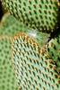 cactus with  dandelion fluff_0088.jpg (ImaginingsLifeImages) Tags: cactae cactus nature flowers floraandfauna cactaceae australia flora city caryophyllales sydney botanicgardens places nsw
