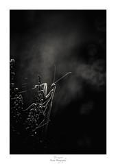 Élégance monochromatique (Naska Photographie) Tags: naska photographie photo photographe proxy proxyphoto macro macrophotographie macrophoto mante religieuse mantidae insectes arthropodes extérieur nature sauvage forest foret noir et blanc black white nb monochrome portrait