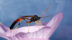 IMG_5950 (Joseph Berger Photos) Tags: ammophila insects macro sphecidwasp threadwaistedwasp wasps wasp