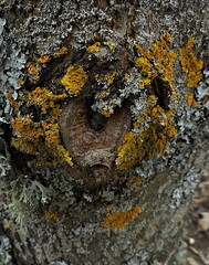 7 - Biodiversité (melina1965) Tags: 2017 février february bourgogne saôneetloire saintvallier burgondy nikon coolpix s3700 winter hiver macro macros arbre arbres tree trees lichen lichens