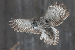 Chouette lapone - Great grey owl - Strix nebulosa (Maxime Legare-Vezina) Tags: bird oiseau owl nature wildlife canon winter quebec canada