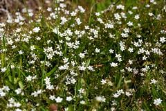 Spring Sandwort (aka Leadwort) (mcapper) Tags: flower spring mine derbyshire lead verna sandwort leadwort rakes minuartia