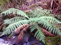 Soft Tree-fern (Dicksonia antarctica) Yarra Vally, Victoria, Australia (Adam759) Tags: dicksoniaantarctica dicksonia dicksoniaceae arfp softtreefern vrfp arffern cooltemperatearf warmtemperatearf
