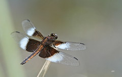 Libellule mlancolique / Widow Skimmer (alain.maire) Tags: canada nature insect quebec dragonfly insecte libellule widowskimmer odonata libellulidae libellulaluctuosa odonate lamlancolique