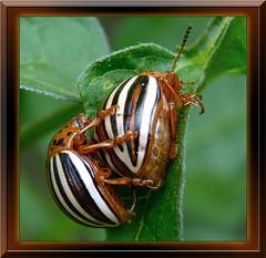 Leptinotarsa Juncta, Mating False Potato Beetles 2 (DarkOnus) Tags: macro sex closeup insect lumix day pennsylvania beetle potato mating beetles 2d buckscounty hump false humping leptinotarsa ihd juncta dmcfz35 insecthumpday
