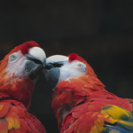 "Parrots kiss • <a style=""font-size:0.8em;"" href=""http://www.flickr.com/photos/28211982@N07/19156415253/"" target=""_blank"">View on Flickr</a>"