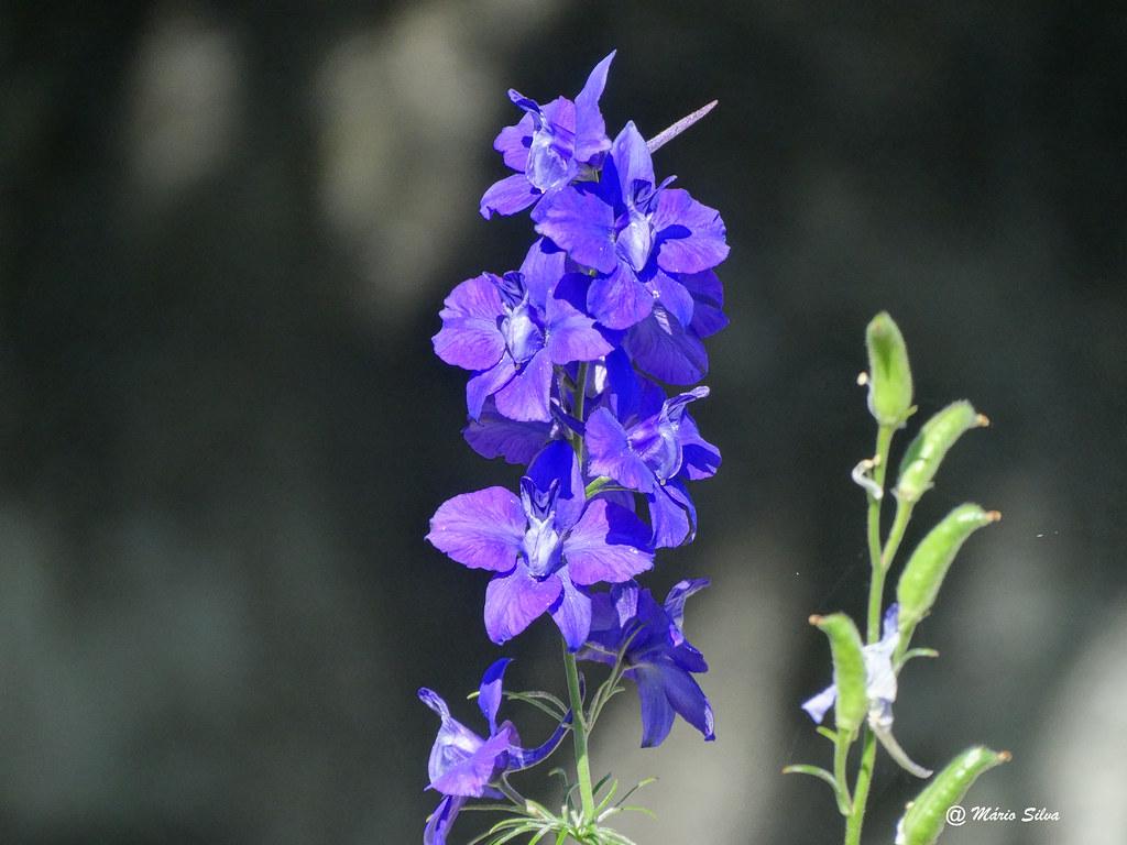 Águas Frias (Chaves) - ... flor campestre ...