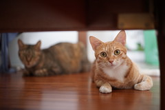 All Photos-100 (lazybonessss) Tags: leica cat momo kitten nana kitten2 summicronm50 sonya7 sonyilce7