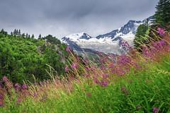 Alpine flowers (jmbillings) Tags: flowers trees summer mountain alps green nature grass landscape pretty meadow alpine flowersplants saasfee pinkpurple allalin