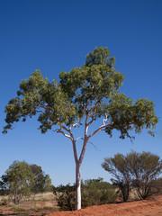 Ghost gum (drelliott0net) Tags: tree au australia queensland eucalyptus ghostgum papuana windorah