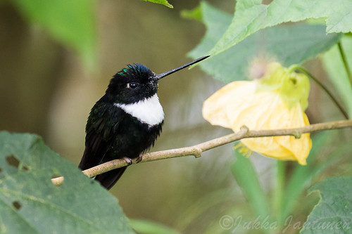 Collared Inca (Coeligena torquata), Nov 1 2016, Parque Chicaque, Soacha, Colombia