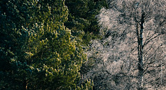 Green White (imagomagia) Tags: art artphoto artphotography cinematography forest fujix fujifilm light naturallight nature sun sunlight sunrays sweden swedish tree trees winter wood woods