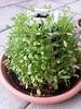 11 (romeo-art.ch) Tags: romeoart romeoartch woodart garden verticalgardening artwork art cress kresse tropaeolum