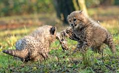 cheetah Burgerszoo JN6A8971 (j.a.kok) Tags: cheetah jachtluipaard acinonyxjubatus acinonyxjubates burgerszoo burgerzoo cat kat mammal zoogdier predator africa afrika