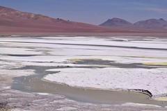 Atacama Desert (leeeelaine) Tags: salardepujsa sanpedrodeatacama chile reservanacionallosflamencos flamingo flamenco