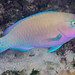 Palenose Parrotfish, terminal phase - Scarus psittacus