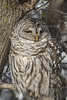 Quick Peek (A.Joseph Images) Tags: bird owl barred barredowl nature animal quebec d7200 nikkor70200f28 wildlife montreal
