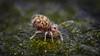 Von oben trocken und die Beinchen im Wasser, so fühlen sich die kleinen Kugeln wohl :-) Dicyrtomina ornata (Kugelspringer) Collembola (AchimOWL) Tags: macro makro natur nature animals tiere gx80 dmcgx80 panasonic lumix post focus stack stacking insekt insect raynox springtail kugelspringer collembola outdoor schärfentiefe ngc macrodreams tier