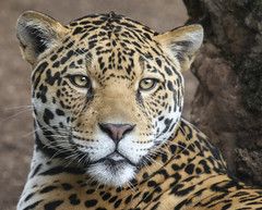 Valerio...Wildly Handsome, Endearingly Sweet (Penny Hyde) Tags: bigcat jaguar sandiegozoo flickrbigcats