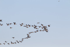 Organized  ;) (Noizeemama) Tags: birds geese flock flying vformation