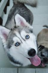 Blue eyes (piggytay) Tags: pet pets petportrait petportraits siberianhusky husky pug