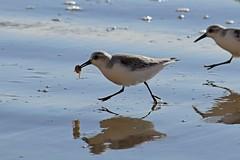 Sanderlings run (Annette Teng) Tags: sanderlings plover maddash hermit crab