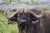 IMGP8579b (Micano2008) Tags: pentax kenia africa nakuru lagonakuru parquenacional mamifero bufalocafre synceruscaffer