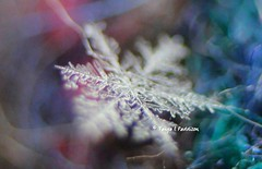 Fernlike Stellar Dendrites Snowflake abstract (tpaddison1) Tags: macro snowflake iaminlovewithsnowflakes nature flow energy chemistry abstract dendrites winter microstructure particles amazing