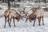 Wapiti Fighting (robertdownie) Tags: canada winter animals animal snow wildlife alberta national park mammal fighting jasper elk wapiti antlers headlock