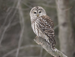 Barred Owl (sspike@rogers.com) Tags: owl barred raptor steverossi ontario wildlife nature winter green canon