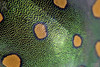 Jewel (ggallice) Tags: jewelbug metallicshieldbug shieldbackedbug scutelleridae structuralcolor green losamigosbiologicalstation peru amazon rainforest southamerica madrededios insect