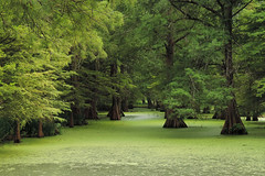 Greenville - Shades Of Green (Drriss & Marrionn) Tags: bluestrail2014 greenville mississippi outdoor bayou swamp nature preserve green tree trees cypresstrees water creek plant plants landscape usa greenvillecypresspreserve charlielevel1 charlielevel2 charlielevel3