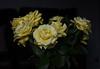 DSC_4249 (PeaTJay) Tags: nikond750 reading lowerearley berkshire macro micro closeups gardens indoors nature flora fauna plants flowers rose roses rosebuds