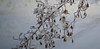 Japanese Maple (f8shutterbug) Tags: idb winter ice snow tree smcpentaxm75150f4 mapletree seeds japanesemaple freezingrain