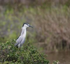 1DX17318  View Large. Black-crowned Night-Heron. Keālia Pond, Maui (E.W. Smit Wildlife) Tags: gitzo gitzotripod g1325mk2 gitzog1325mk2 gitzog1325mk2tripod wimberley wimberleygimbalheadwh200 wimberleygimbalhead wimberleywh200 gimbalhead ef500mmf4lis ef500mmf4lisusm canonef500mmf4lisusm canonef500mmf4lis wildanimals tourist tourists telephotolens tripod unitedstatesofamerica usa outdoors outdoor supertelephotolens island bird birds ocean pacificocean animal avian animals wildanimal hawaii mauihawaii maui mauimarriottsoceanclub canon nature wildlife 1dx eos1dx canon1dx canoneos1dx keāliapond keāliapondnationalwildliferefuge blackcrownednightheron nightheron heron