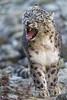 Walking and yawning (Tambako the Jaguar) Tags: walking yawning openmouth portrait face funny tired rocks stones snowleopard male uncia fluffy big wild cat zürich zoo switzerland nikon d5