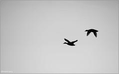 Mallards (Hindrik S) Tags: wyldeein einen eenden wildeeend ducks fly fleane vliegen silhouette 300mm birds fûgel vogels nature natuur natoer naturesfinest naturewatcher tamronaf16300mmf3563dillvcpzdmacrob016 tamron sonyphotographing sony sonyalpha a57 α57 slta57 fryslân friesland minimal blackandwhite zwartwit zwart wit winter fleeing flechtsje vluchten
