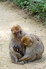Berberaffen im Vallée des singes (Ulli J.) Tags: zoo frankreich france frankrig frankrijk poitoucharentes vienne romagne valléedessinges berberaffe magot barbarymacaque barbaryape berberabe macaqueberbère berberaap