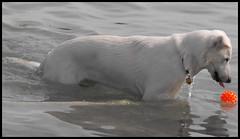 My Ball (Silverfoxz 2009) Tags: whitegermanshepherd dog pet animal lakeontario ball pointyfacedog