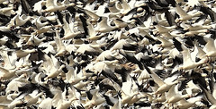 Migration (Jeff Clow) Tags: 2017 february hagermanwildliferefuge jeffclowphototours mothernature northtexas usa avian beautyinnature birds geese migration nature outdoors outsdie snowgeese travel wild wildlife