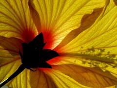 IMG_0182 (marinetteromico) Tags: soleil jaune orange ibiscus transparence