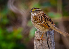 White throated Sparrow Inceville Los Liones Canyon 116-2 (pekabo90401) Tags: rarebird winterlight pacificpalisadesbirds canyonmonkey pekabo90401 camaraderie friendship birdsofsoutherncalifornia inceville lightroom 80d 100400 canon canon80d zonotrichiaalbicollis whitethroatedsparrow wesen hidingmonkey bruantàgorgeblanche sparrow moineau spatz mus spurv passero chimsesẻ manuliilii σπουργίτησ スズメ 참새 southerncaliforniabirds birdwatching birdwatchinglosangeles losliones loslionescanyon wintervisitor hss