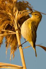 Lui piccolo (Phylloscopus collybita) (Jokermanssx) Tags: phylloscopus collybita lui piccolo molentargius stagno alba cagliari sardegna